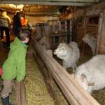 Visite en famille de l'élevage de chèvres angora
