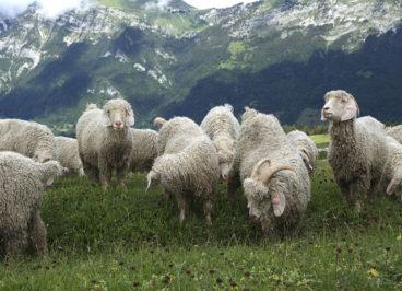Les chèvres angora en alpage